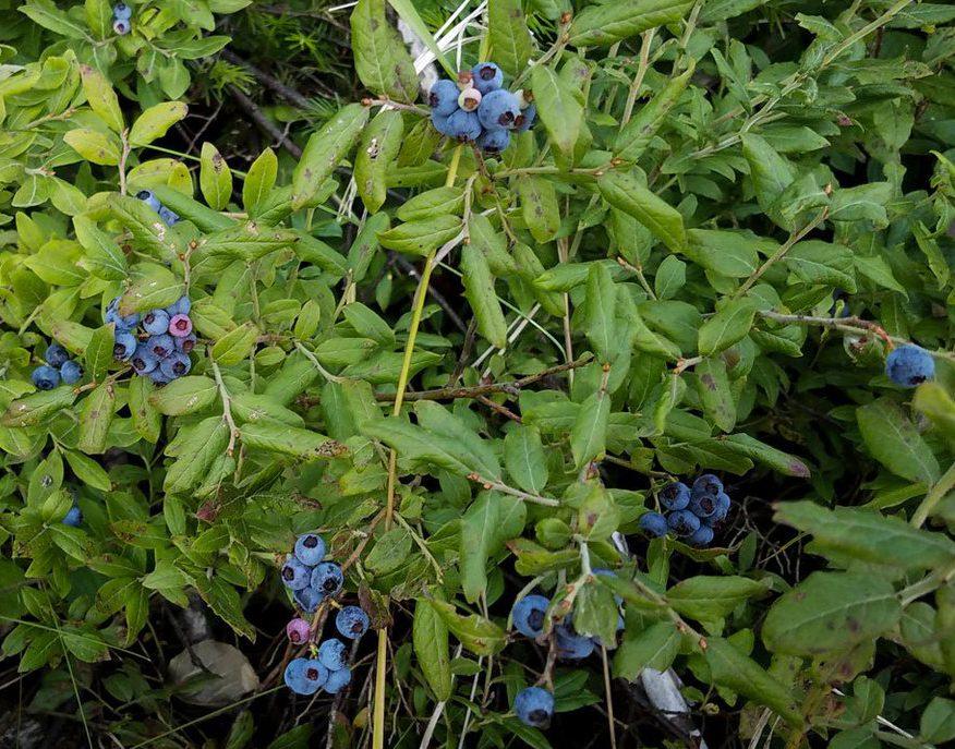 High-bush Blueberries