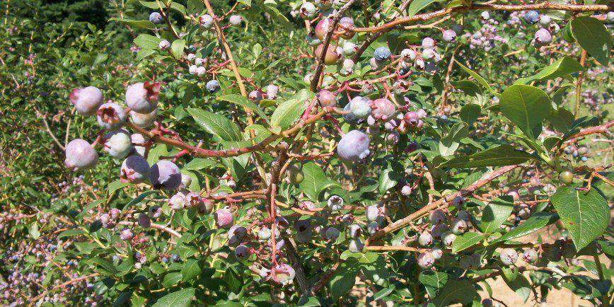Zone 7 Blueberry Bush