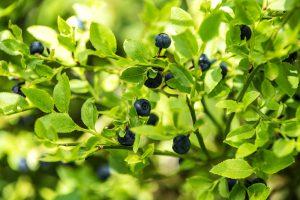 Bluyeberries